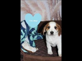Beagle x Maltese pups - ready to go!!!