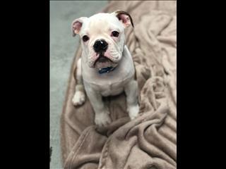 REDUCED PRICE- British Bulldog Pup!!