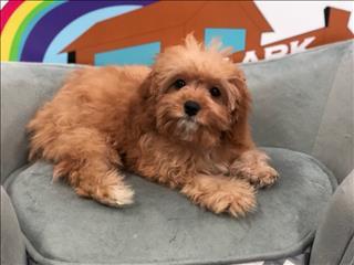 Female Cavoodle (Cavalier x Toy Poodle) puppy - 9831 3322