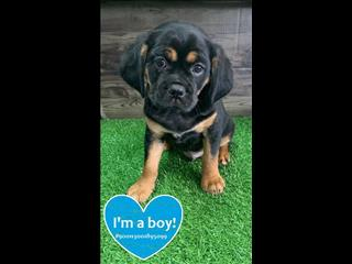 Black and Tan Pugalier Boy! Call Now!!