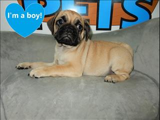 Puggle (3/4 Pug x 1/4 Beagle) pups - CALL NOW!!!