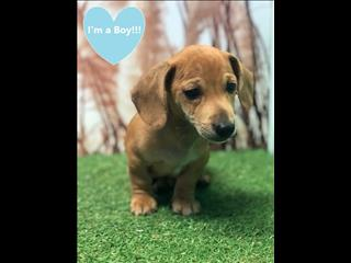 OPEN ALL EASTER!!!! Dachshund x JRT Red - Female and Male