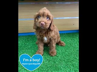 Teddy Face Red Cavoodle!! Call now!