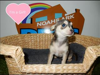 Tiny Tot Blue Female Chihuahua - Call now 983 3322