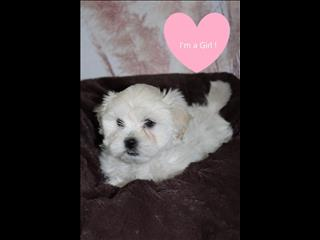 LAST ONE!! Maltese x Shih Tzu Puppies! - Call now!!!