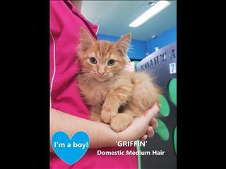 GRIFFIN - Rescue Kitten