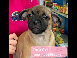 Female Fawn Black Male Jug puppy! Pug x JRT