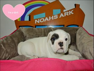 Aussie Bulldog Puppies looking for their forever homes now! - call now 9831 3322!!