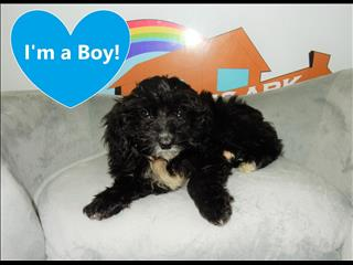 WEEKEND SPECIAL- Miniature Cavoodle (Cavalier x Mini Poodle) Puppies