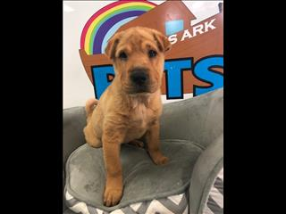 Adorable Shar Pei Puppies