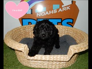 Toy Cavoodle (Cavalier x Toy Poodle) Puppies- New Litter! 9831 3322