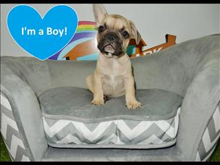 REDUCED PRICE!!!! Fawn French Bulldog Puppies!