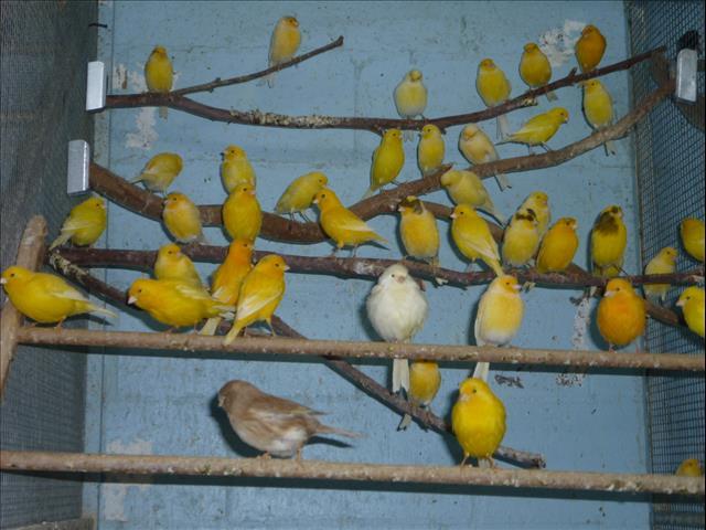 Canary's