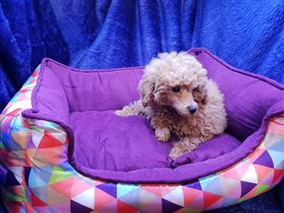 Apricot Toy Poodles in Perth, Western Australia