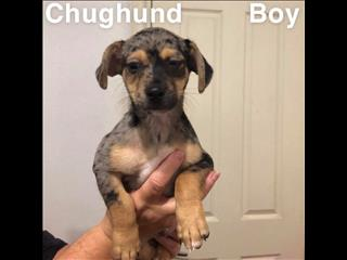 Chughund(chihuahua x pug x dachshund) in Perth, Western Australia