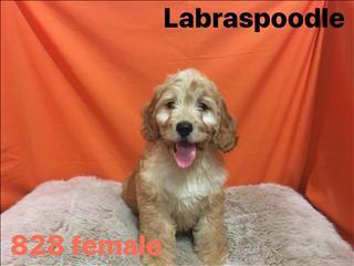 Labraspoodle (Labrador x poodle x cocker spaniel) in Perth, Western Australia