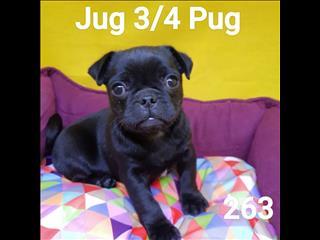 Jug 3/4 Pug, in Perth Western Australia