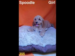 Spoodle (Cocker Spaniel x Poodle) in Perth Western  Australia.