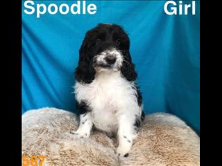 Spoodle (Cocker Spaniel x Poodle) in Perth Western  Australia.