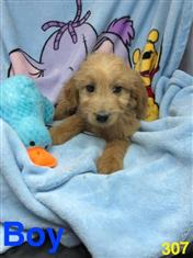 Groodle, 1st generation.(Poodle x Golden Retriever) in Perth, Western Australia