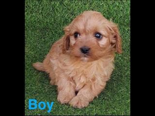 Apricot Toy Cavoodle in Perth Western Australia