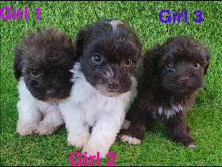 Shoodle 1st generation (Shih Tzu x Toy Poodle), in Perth Western Australia