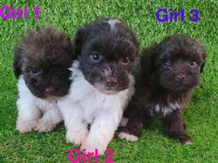Shoodle 1st generation (Shih Tzu x Toy Poodle), in Perth Western Australia