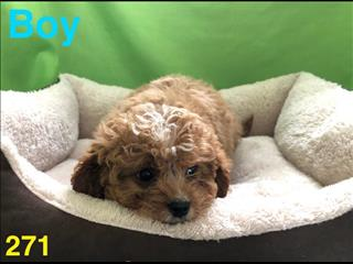 Toy Cavoodle (Toy Poodle x Cavalier King Charles) in Perth Western Australia