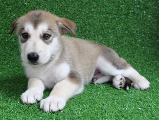 XWX1 Swiss Shepherd x Alaskan Malamute  Puppy, Dog - 462981