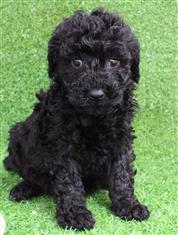 XWX1 Labradoodle (Labrador x Medium Poodle) Puppy, Dog - 244039
