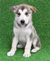 XWX1 Swiss Shepherd x Alaskan Malamute  Puppy, Dog - 573272
