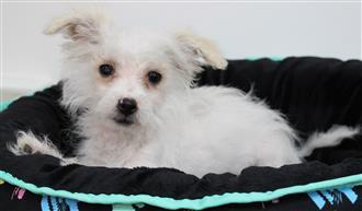XWX1 Shnoodle (Maltese shihtzu x Toy Poodle) Puppy, Dog - 601793
