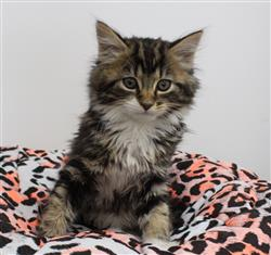WXW1 Kitten - Domestic Long Hair Kitten, Cat - 571213