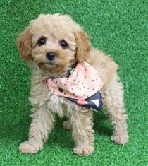 XWX1 Labradoodle Miniature Puppy, Dog - 461107