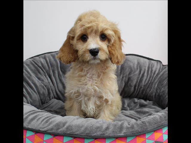 XWX1 Cavoodle (Cavalier KC x Toy Poodle) Puppy, Dog - 245598