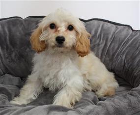 XWX1 Cavoodle (Cavalier KC x Toy Poodle) Puppy, Dog - 117428