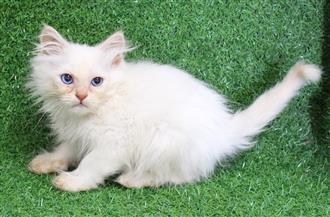 WXW1 Kitten - Ragdoll x Chinchilla Kitten, Cat - 500780