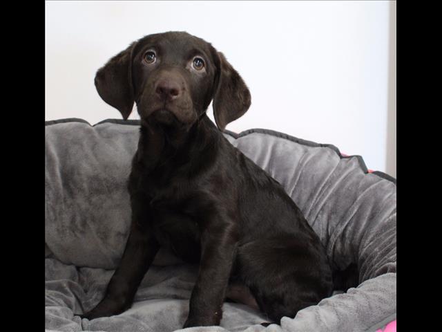 XWX1 Curly Coat Retriever x Labrador  Puppy, Dog - 798203
