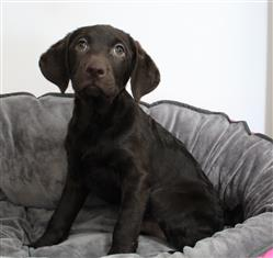 XWX1 Curly Coat Retriever x Labrador  Puppy, Dog - 798203