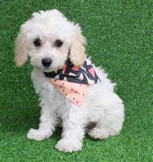 XWX1 Labradoodle Miniature Puppy, Dog - 456078