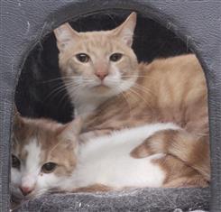 WXW1 CAT - Domestic Short Hair Kitten, Cat - 371301
