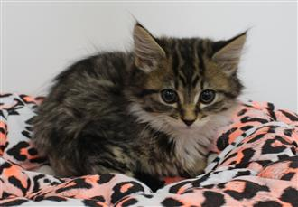WXW1 Kitten - Domestic Long Hair Kitten, Cat - 573462