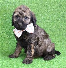 XWX1 Labradoodle (Labrador x Medium Poodle) Puppy, Dog - 244106