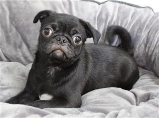 XWX1 Pug Puppy, Dog - 065267