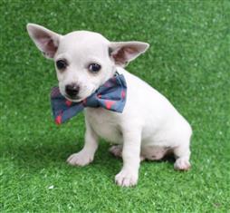 XWX1 Chihuahua Puppy, Dog - 548388