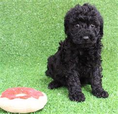 XWX1 Labradoodle (Labrador x Medium Poodle) Puppy, Dog - 244088
