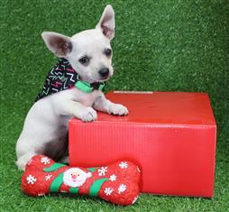 XWX1 Chihuahua Puppy, Dog - 548678