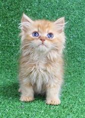 WXW1 Kitten - Ragdoll x Chinchilla Kitten, Cat - 471977