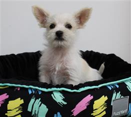 XWX1 Maltese x Chihuahua Puppy, Dog - 259180