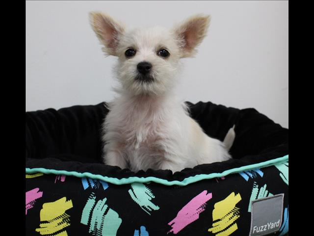 XWX1 Maltese x Chihuahua Puppy, Dog - 259180